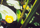 Grążele żółte jeszcze kilkanaście lat temu pospolite, widoczne na niemal każdej stojącej wodzie, dziś trafiają się coraz rzadziej.  foto: Krzysztof Duniec