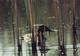 Na dzikich groblach, w szuwarzyskach, znalazły ostoje głowienki  foto: Krzysztof Duniec