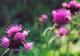 Późną wiosną i latem na łąkach Winowskich Wzgórz rozkwitają wielkie połacie ostów.  foto: Krzysztof Duniec