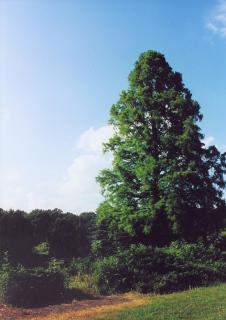 W parku wciąż jeszcze rosną unikatowe w Polsce drzewa i krzewy - min. najwyższy w Polsce cypryśnik błotny.  foto: Krzysztof Duniec