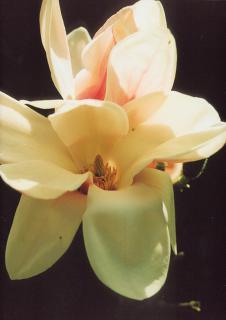 Zróżnicowanie gatunkowe roślin w parku sprawia, że niemal przez wszystkie miesiące wiosny i lata coś tu kwitnie - magnolie obsypują się kwiatami jako jedne z pierwszych.  foto: Krzysztof Duniec