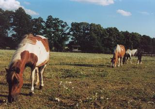 Konie  foto: Krzysztof Duniec