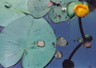Od wiosny do późnego lata na stawie łanami rozkwitają grążele żółte  foto: Krzysztof Duniec